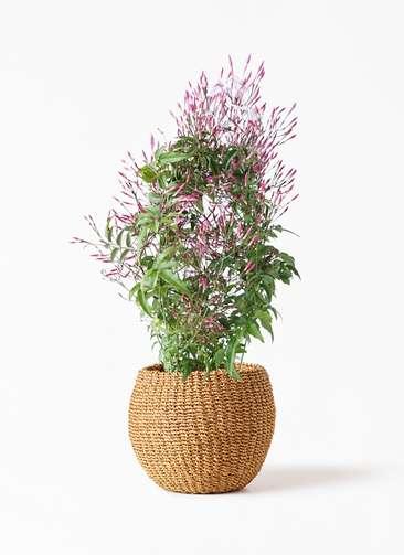 観葉植物 ハゴロモジャスミン 4号 アバカバスケット タン 付き