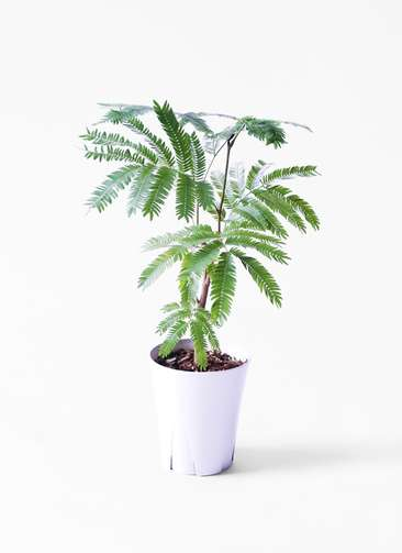 観葉植物 エバーフレッシュ 4号 ボサ造り プラスチック鉢