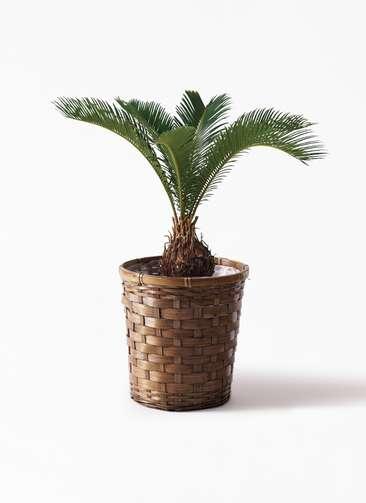 観葉植物 ソテツ 6号 竹バスケット 付き