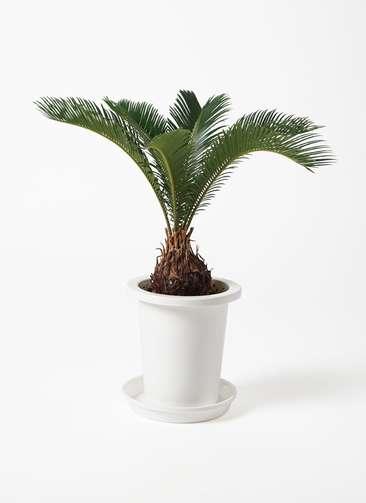 観葉植物 ソテツ 6号 プラスチック鉢