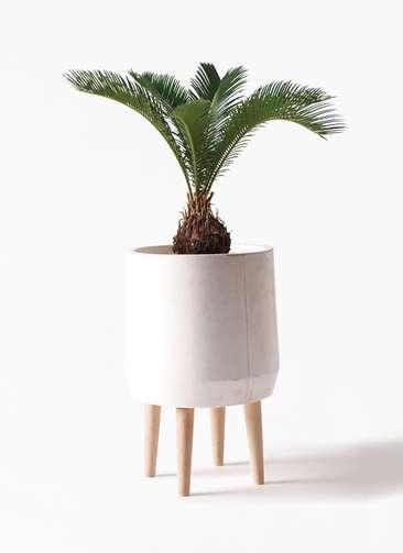 観葉植物 ソテツ 6号 ファイバークレイ white 付き