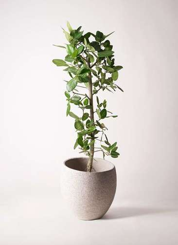 観葉植物 フィカス ベンガレンシス 10号 ストレート エコストーンLight Gray 付き