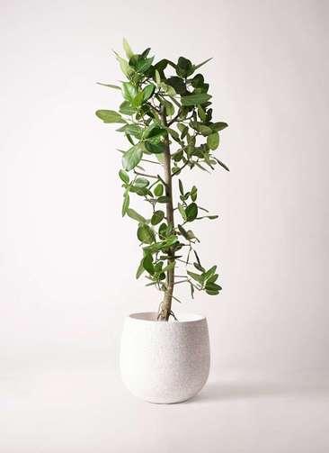 観葉植物 フィカス ベンガレンシス 10号 ストレート エコストーンwhite 付き