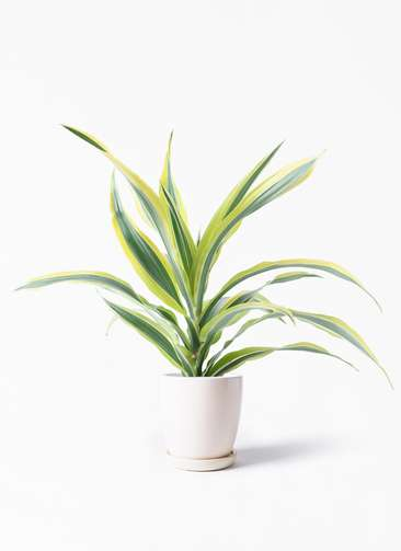 観葉植物 ドラセナ ワーネッキー レモンライム 4号 アステア トール ホワイト 付き
