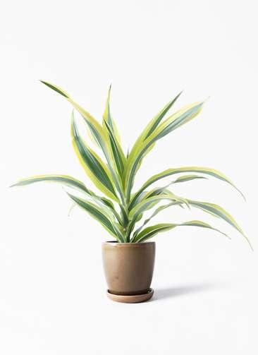 観葉植物 ドラセナ ワーネッキー レモンライム 4号 アステア トール ブラウン 付き