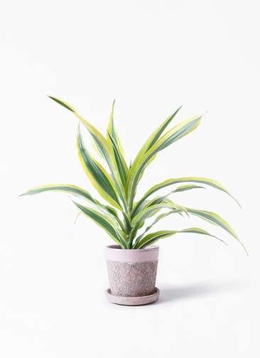 観葉植物 ドラセナ ワーネッキー レモンライム 4号 ハレー ピンク 付き