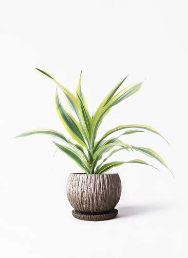 観葉植物 ドラセナ ワーネッキー レモンライム 4号 ストーン ウェア セラミック 付き