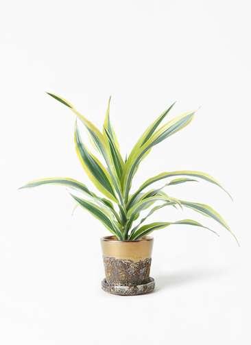 観葉植物 ドラセナ ワーネッキー レモンライム 4号 ハレー ブロンズ 付き