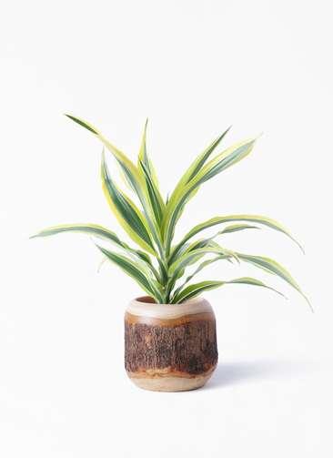 観葉植物 ドラセナ ワーネッキー レモンライム 4号 マンゴーウッド 付き