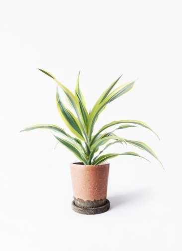観葉植物 ドラセナ ワーネッキー レモンライム 4号 ヴィフポット サーモンピンク 付き