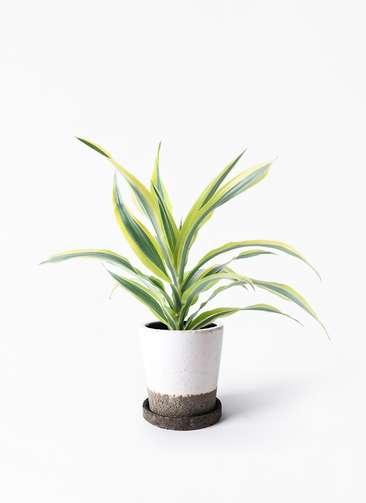 観葉植物 ドラセナ ワーネッキー レモンライム 4号 ヴィフポット ホワイト 付き