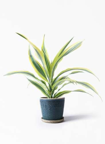 観葉植物 ドラセナ ワーネッキー レモンライム 4号 フェイバーポット ブルー 付き