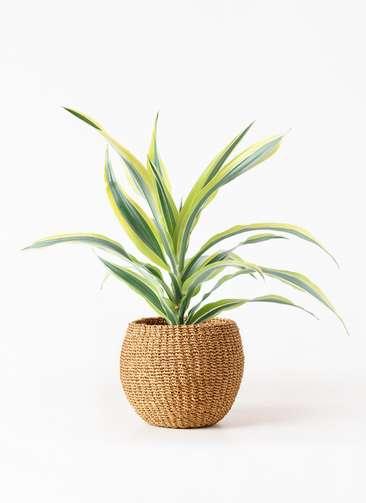 観葉植物 ドラセナ ワーネッキー レモンライム 4号 アバカバスケット タン 付き