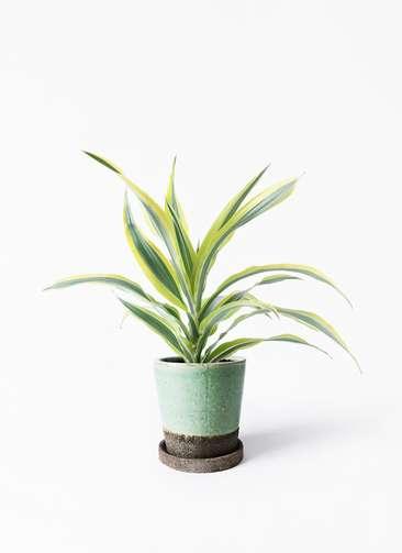 観葉植物 ドラセナ ワーネッキー レモンライム 4号 ヴィフポット ミントグリーン 付き