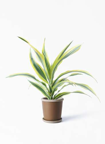 観葉植物 ドラセナ ワーネッキー レモンライム 4号 キャメルポット ブラウン 付き