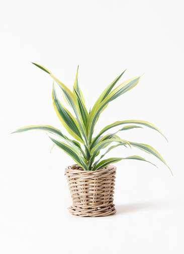 観葉植物 ドラセナ ワーネッキー レモンライム 4号 グレイラタン 付き