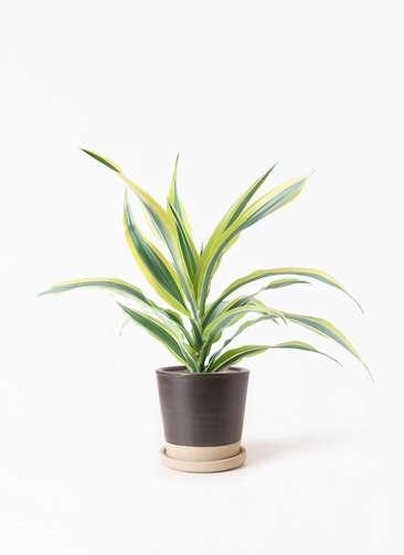 観葉植物 ドラセナ ワーネッキー レモンライム 4号 マット グレーズ テラコッタ ブラック 付き