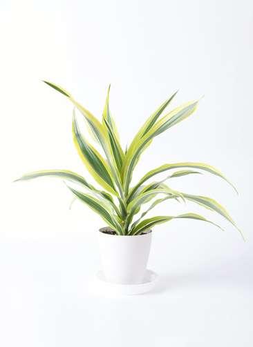 観葉植物 ドラセナ ワーネッキー レモンライム 4号 プラスチック鉢