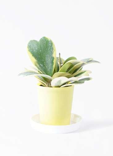 観葉植物 ホヤ (サクララン) 3.5号 プラスチック鉢