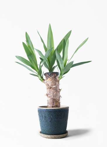 観葉植物 ユッカ 4号 ノーマル フェイバーポット ブルー 付き