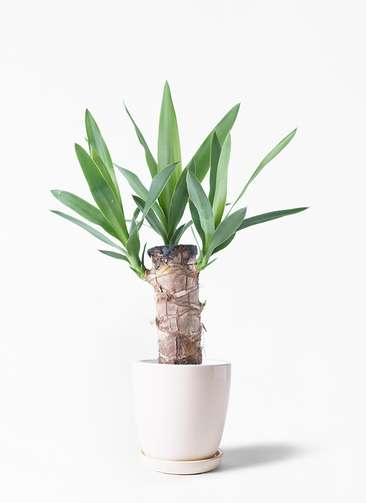 観葉植物 ユッカ 4号 ノーマル アステア トール ホワイト 付き
