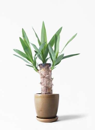 観葉植物 ユッカ 4号 ノーマル アステア トール ブラウン 付き