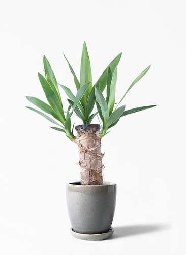 観葉植物 ユッカ 4号 ノーマル アステア トール ライトグレー 付き
