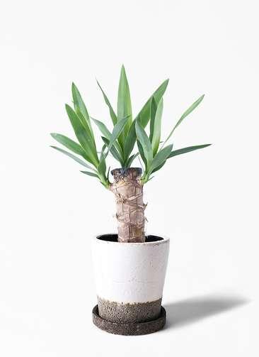 観葉植物 ユッカ 4号 ノーマル ヴィフポット ホワイト 付き