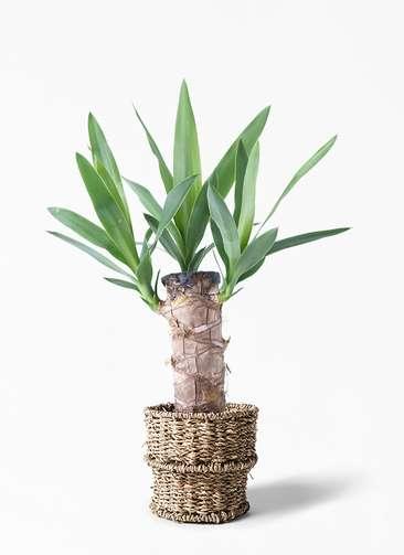 観葉植物 ユッカ 4号 ノーマル バスケット 付き