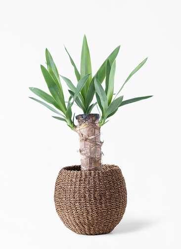 観葉植物 ユッカ 4号 ノーマル アバカバスケット スモーク 付き