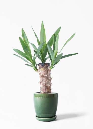 観葉植物 ユッカ 4号 ノーマル アステア トール グリーン 付き