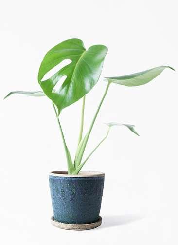 観葉植物 モンステラ 4号 ボサ造り フェイバーポット ブルー 付き