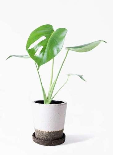 観葉植物 モンステラ 4号 ボサ造り ヴィフポット ホワイト 付き