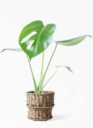 観葉植物 モンステラ 4号 ボサ造り バスケット 付き