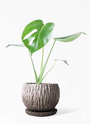 観葉植物 モンステラ 4号 ボサ造り ストーン ウェア セラミック 付き