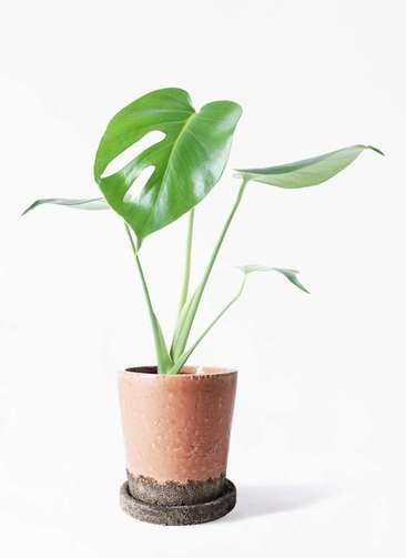 観葉植物 モンステラ 4号 ボサ造り ヴィフポット サーモンピンク 付き