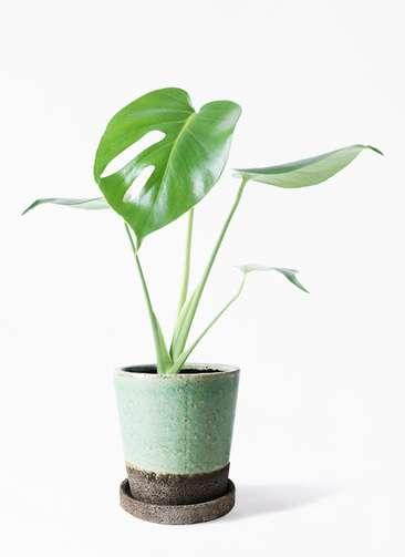 観葉植物 モンステラ 4号 ボサ造り ヴィフポット ミントグリーン 付き
