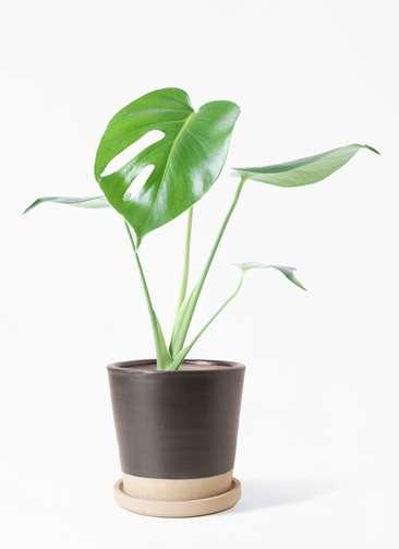 観葉植物 モンステラ 4号 ボサ造り マット グレーズ テラコッタ ブラック 付き