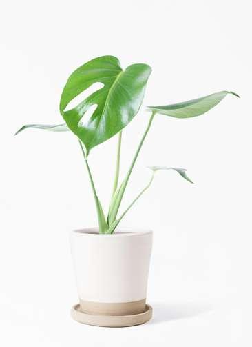 観葉植物 モンステラ 4号 ボサ造り マット グレーズ テラコッタ ホワイト 付き
