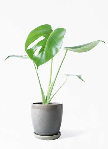 観葉植物 モンステラ 4号 ボサ造り アステア トール ライトグレー 付き