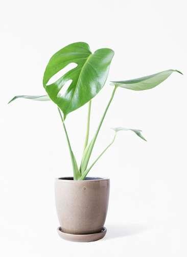 観葉植物 モンステラ 4号 ボサ造り アステア トール ベージュ 付き