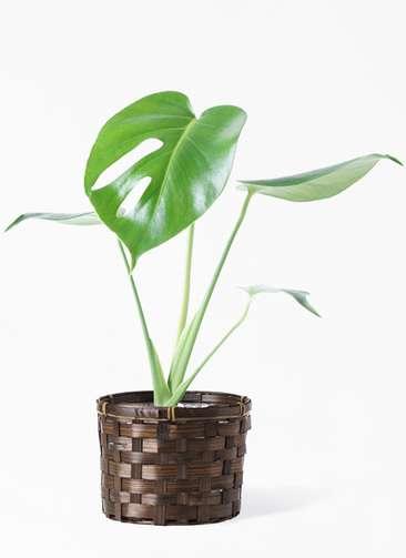 観葉植物 モンステラ 4号 ボサ造り 竹バスケット付き