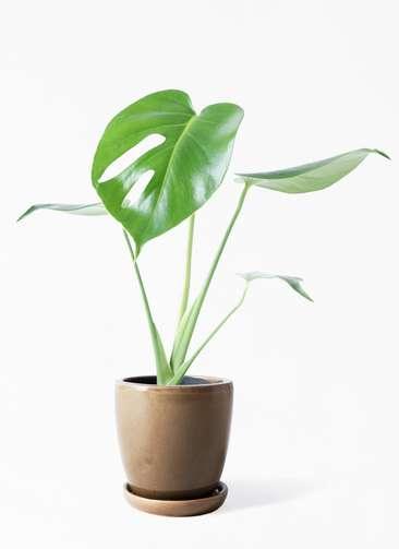 観葉植物 モンステラ 4号 ボサ造り アステア トール ブラウン 付き
