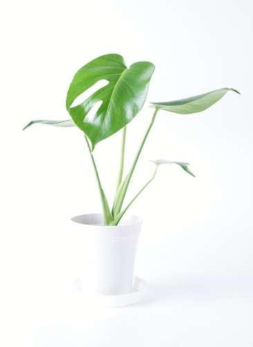 観葉植物 モンステラ 4号 ボサ造り プラスチック鉢