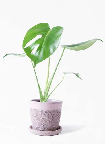 観葉植物 モンステラ 4号 ボサ造り ハレー ピンク 付き
