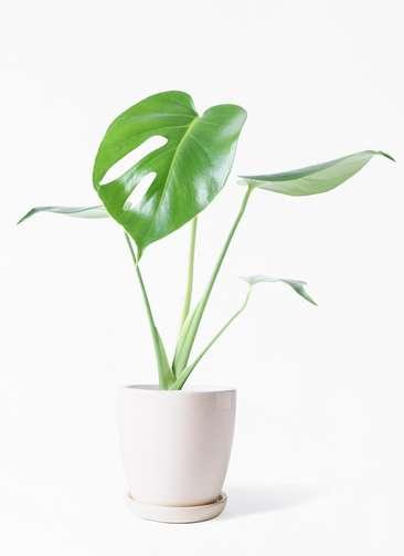 観葉植物 モンステラ 4号 ボサ造り アステア トール ホワイト 付き