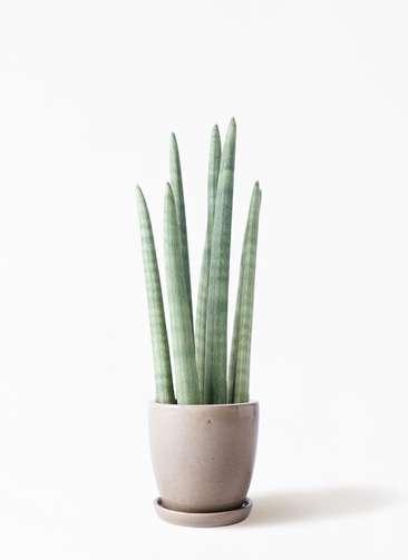 観葉植物 サンスベリア スタッキー 4号 アステア トール ベージュ 付き