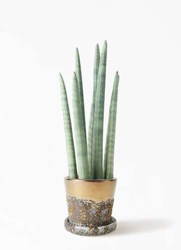 観葉植物 サンスベリア スタッキー 4号 ハレー ブロンズ 付き