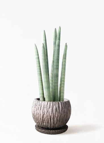観葉植物 サンスベリア スタッキー 4号 ストーン ウェア セラミック 付き