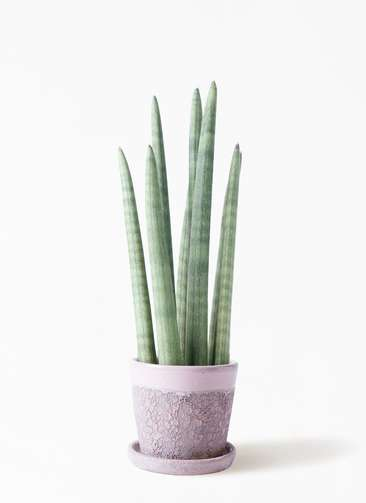 観葉植物 サンスベリア スタッキー 4号 ハレー ピンク 付き